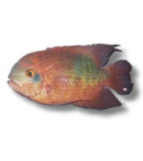Hypselacara temporale /crassa/ 4 - 5 cm