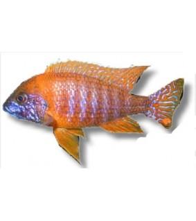 Aulonocara sp. red 3 - 4 cm