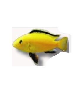 Labidochromis species yelow 3 cm