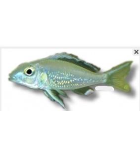 Callochromis stappersi 3 - 4 cm