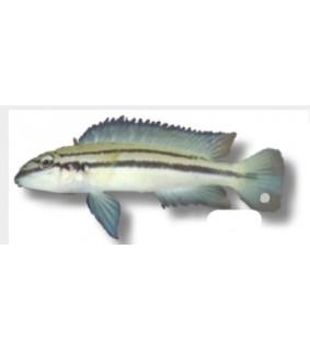 Chalinochromis bifrenatus 4 - 5 cm