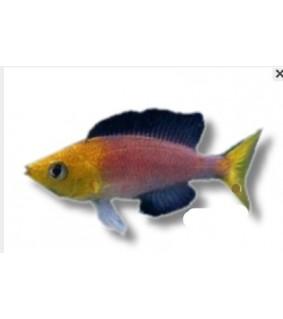 Cyprichromis lept. jumbo yellow 4 - 5 cm