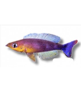Cyprichromis lept. kigoma 3 - 4 cm