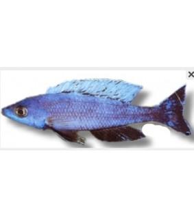 Cyprichromis lept. kitumba jumbo 3 - 4 cm