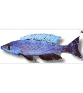 Cyprichromis lept. kitumba jumbo 5,5 - 7 cm