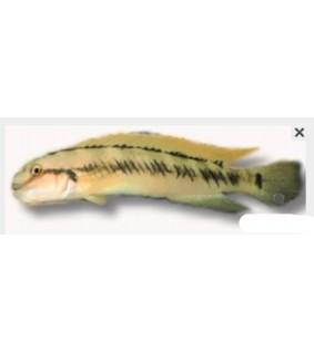 Telmatochromis vittatus 4 cm