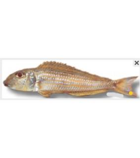 "Xenotilapia ochrogenys \""ndole\"""" 4 - 5 cm                                          """