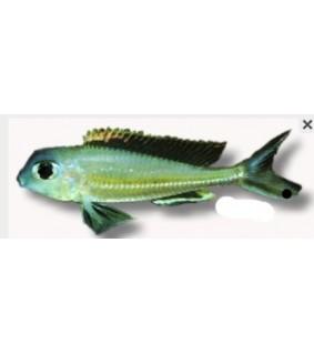Xenotilapia ornatipinis 4 - 5 cm