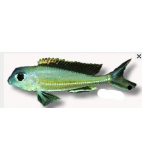 Xenotilapia ornatipinis 5,5 - 7 cm