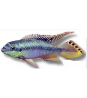 Pelvicachromis pulcher blue 4 cm