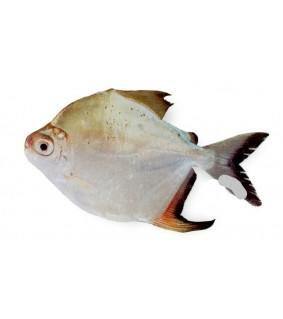 Myleus torquatus 6 - 7 cm