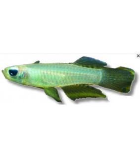 Aplocheilichthys normani 1,5-2 cm