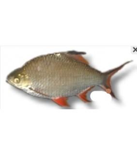 Barbus schwanenfeldi 4 - 5 cm