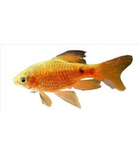 Barbus /Puntius/ conchonius gold-long 3,5 - 4 cm