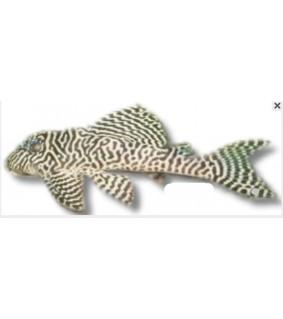 L066 Peckolita sp. king-tiger-pleco 8 - 9 cm