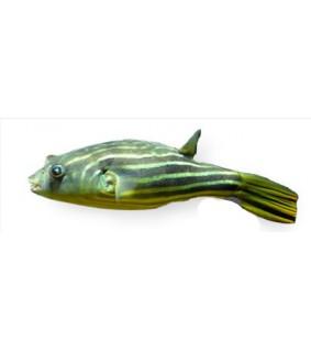 Juovapallokala - Tetraodon fahaka 2 - 2,5 cm