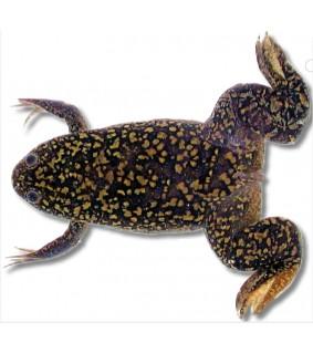 Xenopus laevis 3 cm