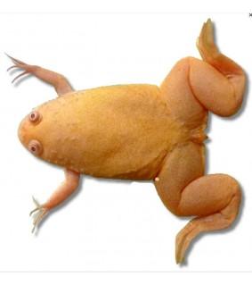 Xenopus laevis albin 3 cm