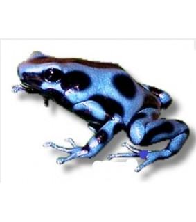 Dendrobates auratus blue CB L