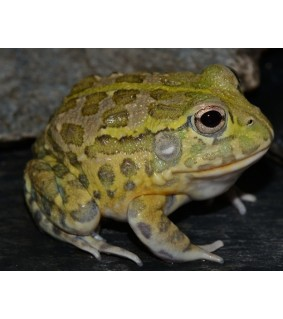Tunnelisammakko - Pyxicephalus adspersus 3-5 cm