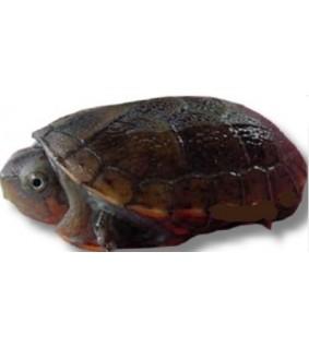 Kinosternon scorpioides M