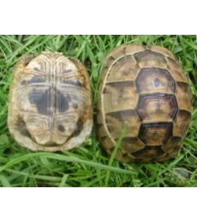 Espanjankilpikonna - Testudo graeca 4-5 cm