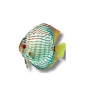 Symphysodon Brilliant Turquoise XL selection HQ