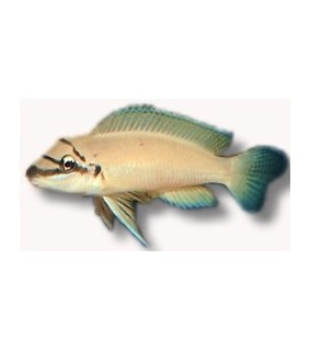 Chalinochromis brichardi 4 - 5 cm