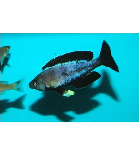 Cyprichromis leptosoma moba 5 -6 cm