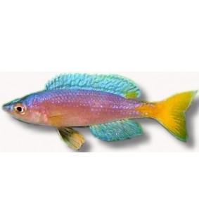 Cyprichromis leptosoma utinta 6,5 - 7,5 cm