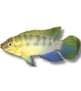 Pelvicachromis subocelatus matadi 4 cm