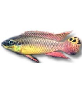 Pelvicachromis taeniatus dehane 4 - 5 cm