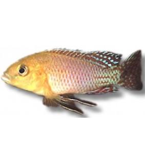 Pseudocrenilabrus nicolsi 4 - 4,5 cm