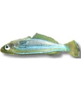 Lamprichthys tanganicanus 3,5 -4