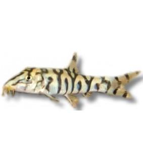 Botia lohachata 3 - 4 cm