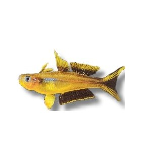 Kultasinisilmä - Popondetta furcata 1-1,5cm