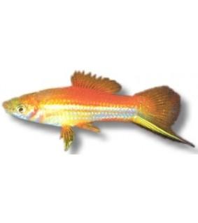 Miekkapyrstö Xiphophorus helleri mary gold 4 - 5 cm