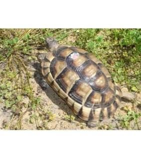 Reunuskilpikonna - Testudo marginata 5-6cm