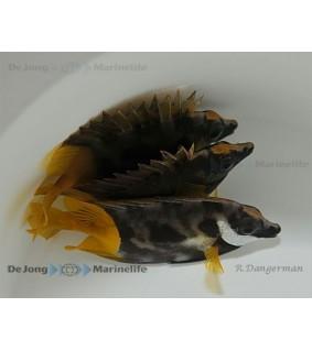 Siganus uspi - keltapyrstokettukala