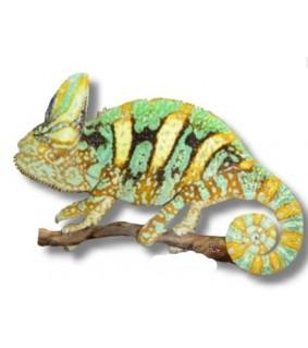 Jemeninkameleontti - Chamaeleo calyptratus 4-6 cm