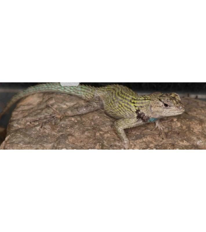 Sceloporus malachiticus adult