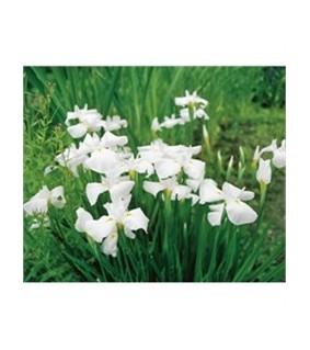 Iris kaempferi White