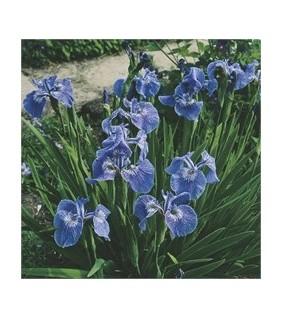 Iris setosa Kaunokurjenmiekka