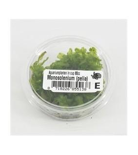 Monosolenium pelia kupissa
