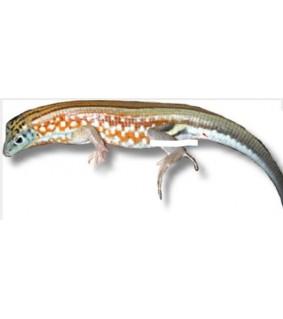 Tracheloptychus petersi