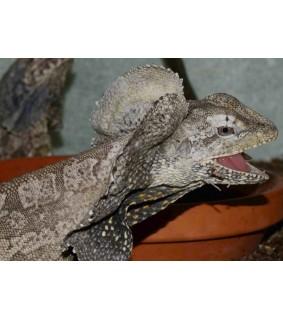 Chlamydosaurus kingii Kauluslisko S-M