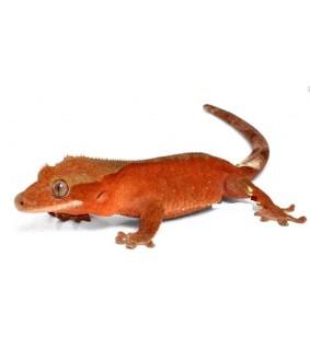 Rhacodactylus ciliatus Harjasgekko 7-10 cm
