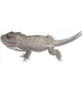 Chamaeleolis barbatus 8cm