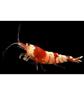 Caridina sp. crystal red Red cristal shrimp 1 cm