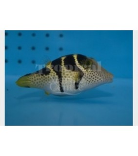 Canthigaster valentini - Satulapallokala - Valentini Puffer